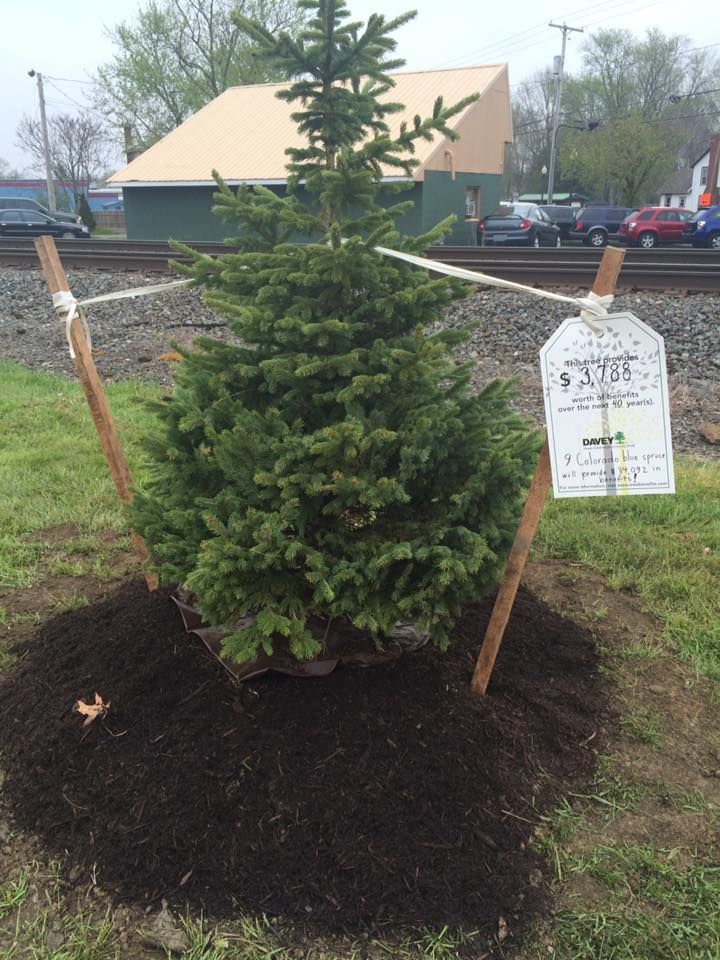 Freshly Planted Evergreen Tree